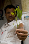 Sana'a / Sanaa, Yemen: man offering Qat leaves - Khat / Catha edulis - the plant contains cathinone, an amphetamine-like stimulant reputed to cause excitement, loss of appetite and euphoria - photo by J.Pemberton